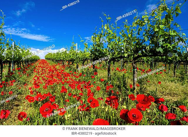 Typical green Tuscan landscape in Val d'Orcia with wineyards, poppies and a blue cloudy sky, Ascianello, Tuscany, Italy