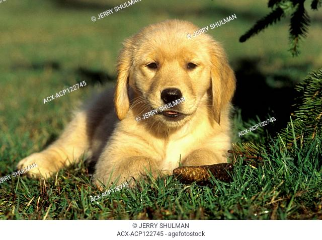 Golden Retriever Puppy lying in grass, facing camera with acorn in mouth
