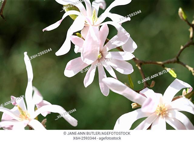 magnolia x loebneri 'Leonard Messel' - a spring favourite