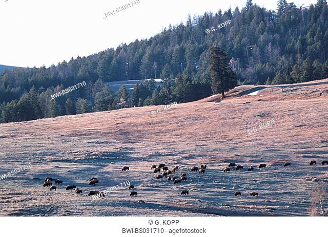 American bison, buffalo (Bison bison), grazing herd, USA, Wyoming, Yellowstone National Park