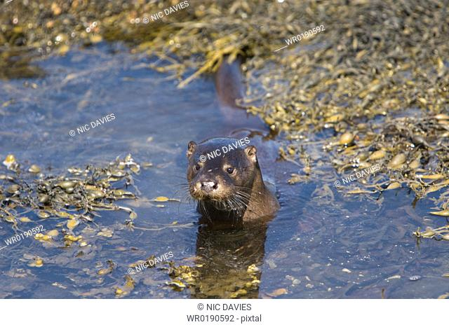 Eurasian river otter Lutra lutra foraging in and among the seaweed Otters on Scotland's west coast and islands have adapted well to making a living in the...