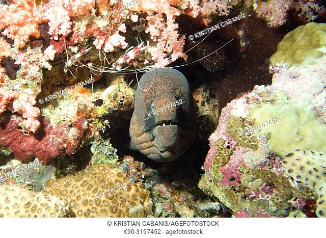 Giant moray eel (Gymnothorax javanicus) looking out of his hole with Banded boxer shrimps in the background, Indian Ocean, Maledives, South Asia