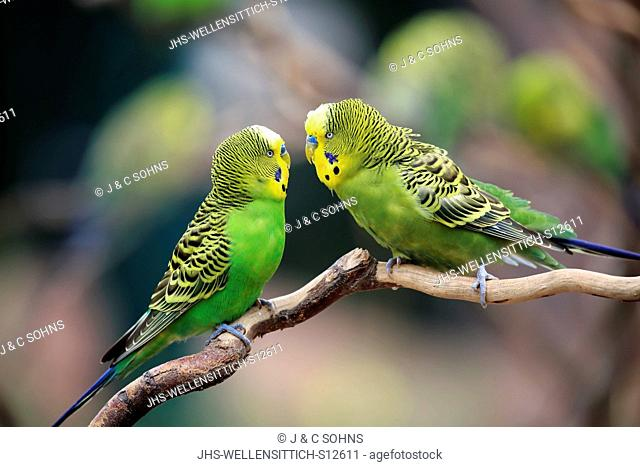 Budgerigar, (Melopsittacus undulatus), adult couple on branch social behaviour, , Australia