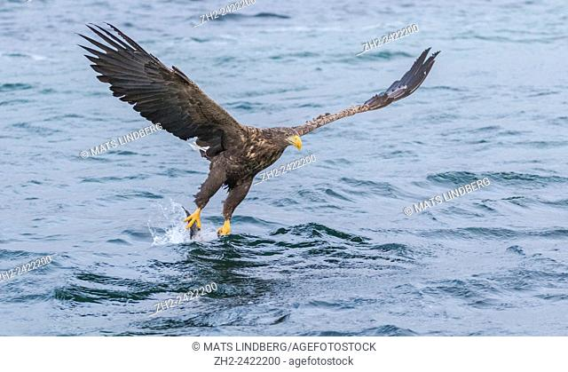 White-tailed eagle, Haliaeetus albicilla, grabbing fish, wings are spread, Andenes, Norway