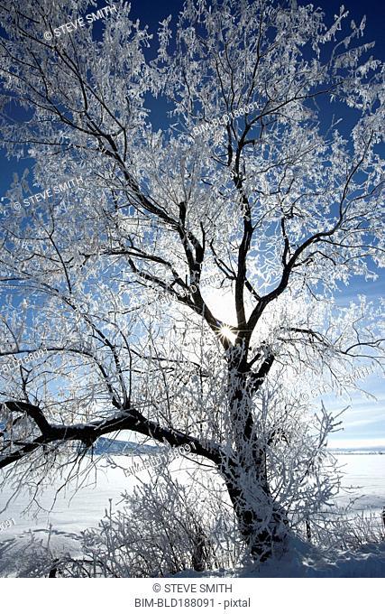 Sunshine through snowy tree in remote landscape