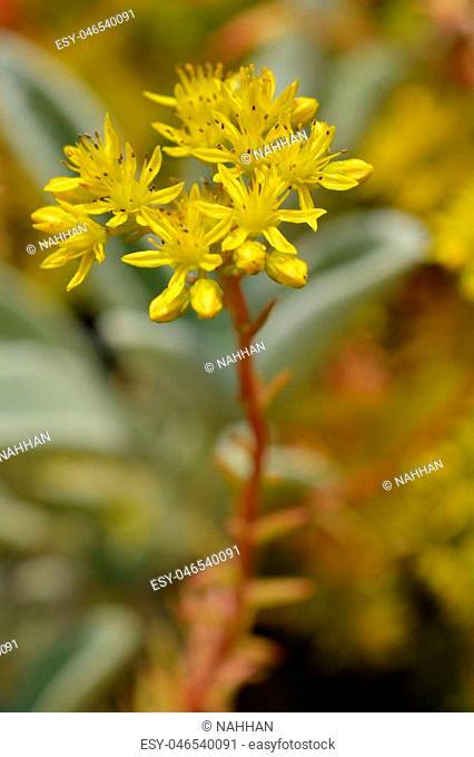 Reflexed stonecrop yellow flower - Latin name - Sedum reflexum
