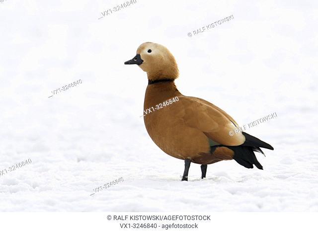 Ruddy Shelduck / Rostgans ( Tadorne casarca ), male bird in breeding dress, standing on snow covered farmland, invasive spezies in Europe, wildlife.