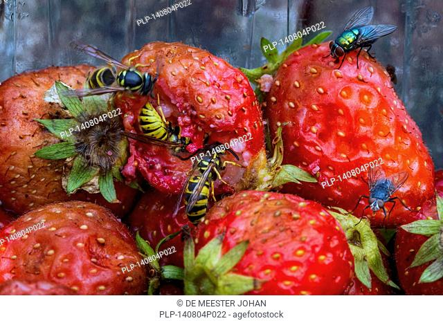 Wasps and flies eating rotten strawberries in garden