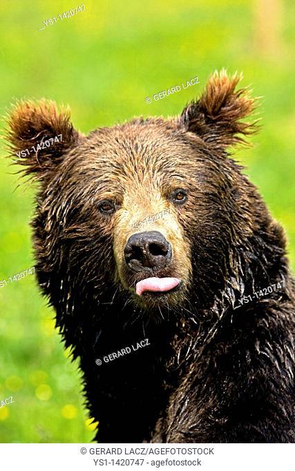 BROWN BEAR ursus arctos, ADULT SHOWING TONGUE