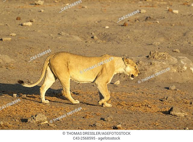 Lion (Panthera leo) - Female on her way to a waterhole. Etosha National Park, Namibia
