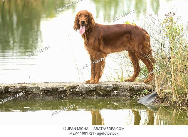 Irish / Red Setter dog outdoors