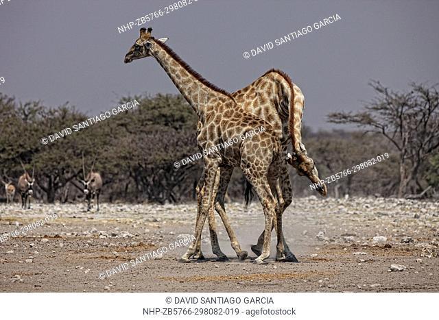 Giraffe (Giraffa camelopardalis) in Etosha National Park, Namibia