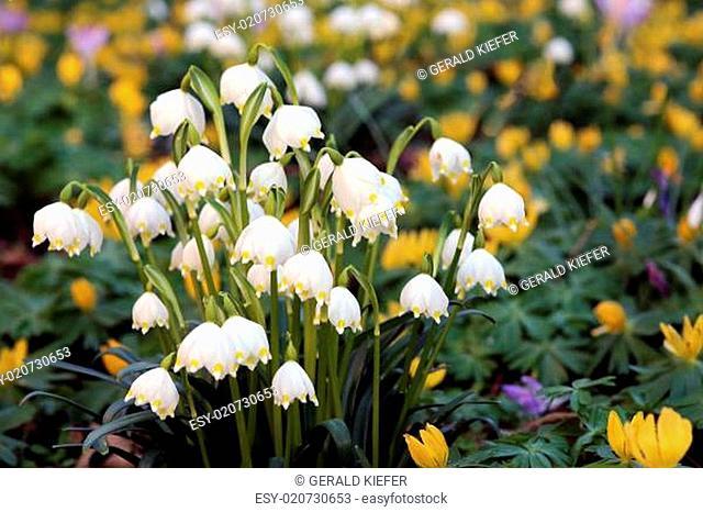 Frühlings-Knotenblume Leucojum vernum
