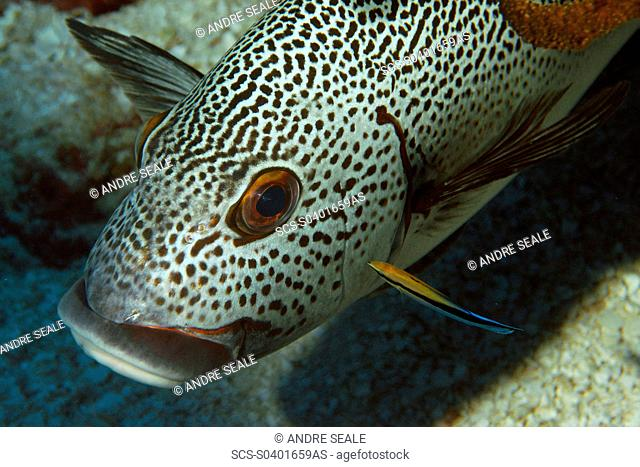 Dotted sweetlips, Plectorhinchus picus, being cleaned by bluestreak cleaner wrasse, Labroides dimidiatus, Namu atoll, Marshall Islands N Pacific rr