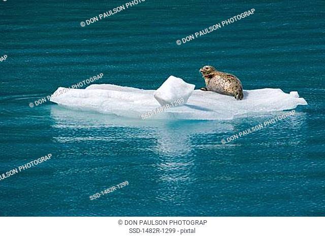 Harbor seal Phoca vitulina on an ice floe in the sea, Glacier Bay National Park, Alaska, USA