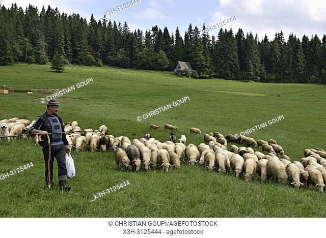 berger et troupeau de moutons, Brzegi, environs de Zakopane, region Podhale, Massif des Tatras, Province Malopolska (Petite Pologne), Pologne