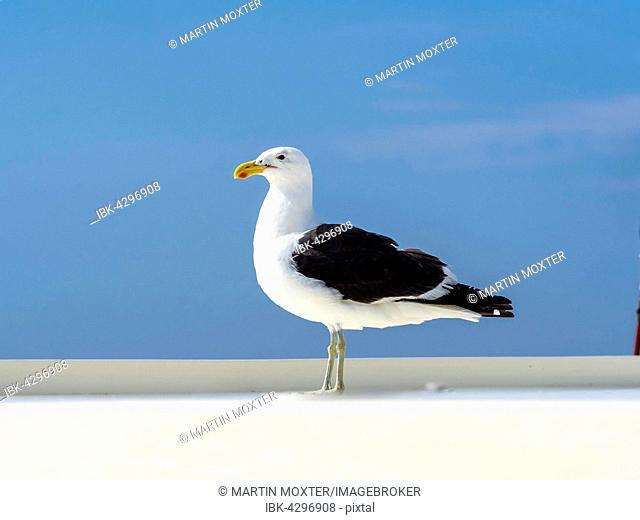 Kelp Gull (Larus dominicanus), Walvis Bay, Erongo Region, Namibia