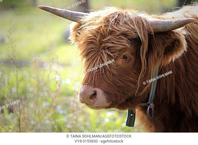 Portrait of young Highland Bull standing on a meadow