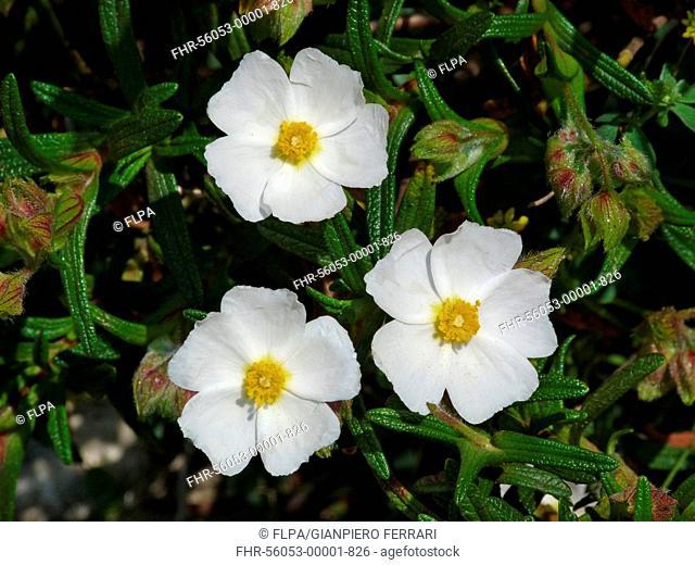 Montpelier Rockrose (Cistus monspeliensis) close-up of flowers, Corsica, France, April