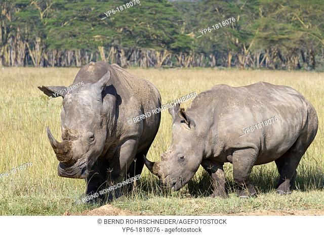White Rhinoceroses Ceratotherium simum in savannah, Lake Nakuru National Park, Kenya