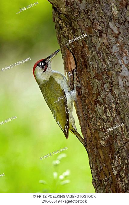 Green  Woodpecker (Picus viridis), male. Sachsen, Germany