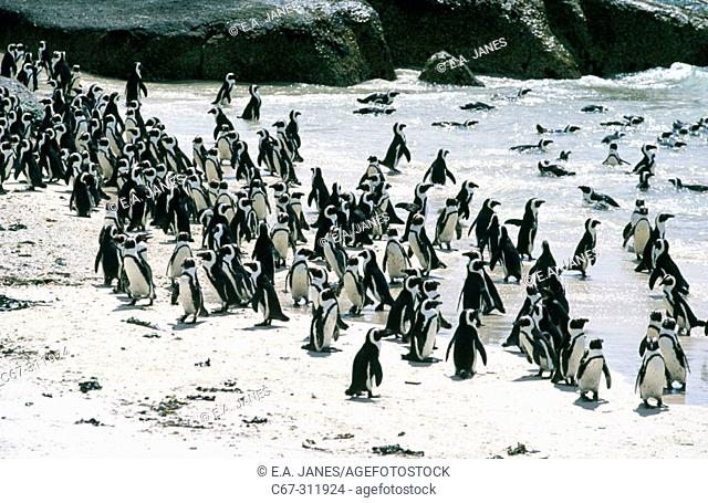 Jackass Penguin (Spheniscus demersus). Simons Town. South Africa