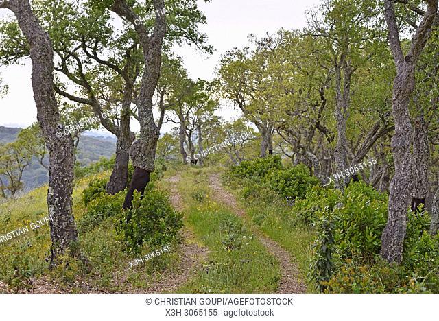 cork oak plantation, Herdade das Barradas da Serra, Grandola, Alentejo region, Portugal, southwertern Europe