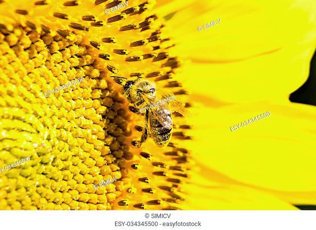 A bee on sunflower under bright sun lights, close-up
