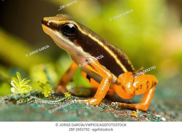 Rocket frog (Colostethus, Dendrobatidae) in soil of Biogeographic Chocó, Buenaventura, Colombia