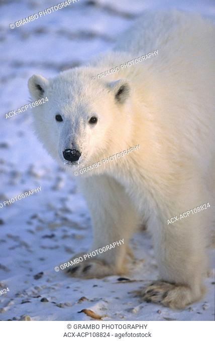 Polar Bear cub, Ursus maritimus, portrait near Churchill, Manitoba, Canada