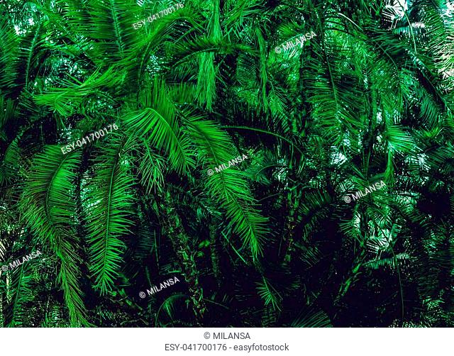 Green palm long branches lush bush summer tropical background. South Italy