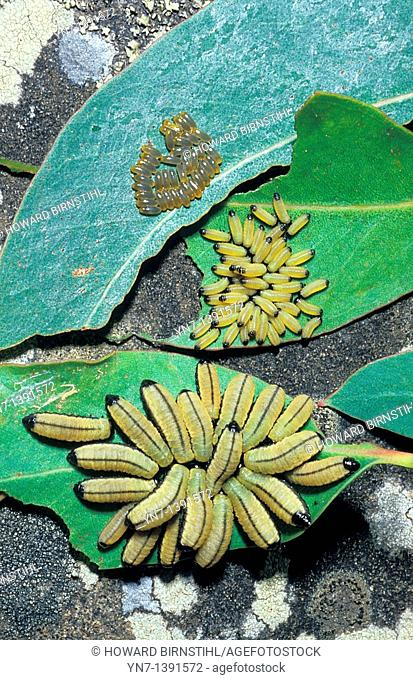 Three stages of the growth of one species of caterpillar Leaf beetle caterpillar family Chrysomelidae are shown in the one image from the egg