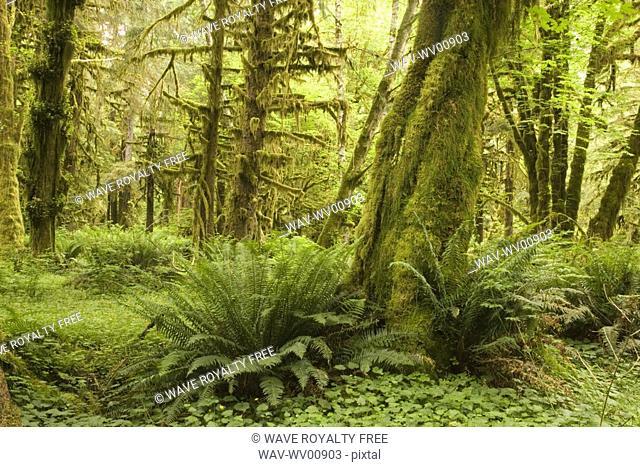 Quinault Rainforest, Olympic National Park, Olympic Peninsula, Washington, USA