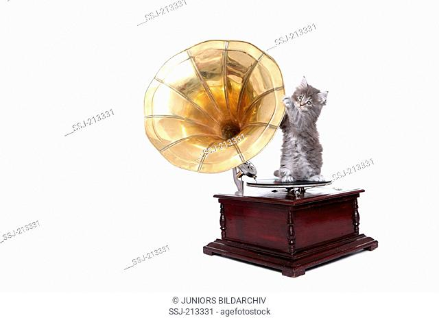 American Longhair, Maine Coon. Kitten (6 weeks old) playing with the horn of a cylinder phonograph. Studio picture against a white background. Germany