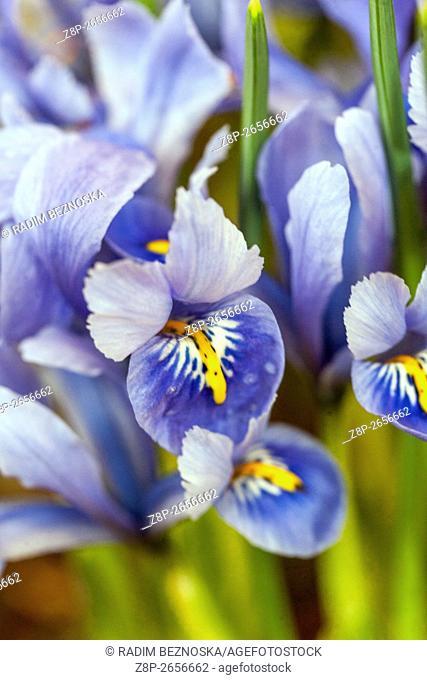 Iris reticulata 'Harmony'. Dwarf iris flower