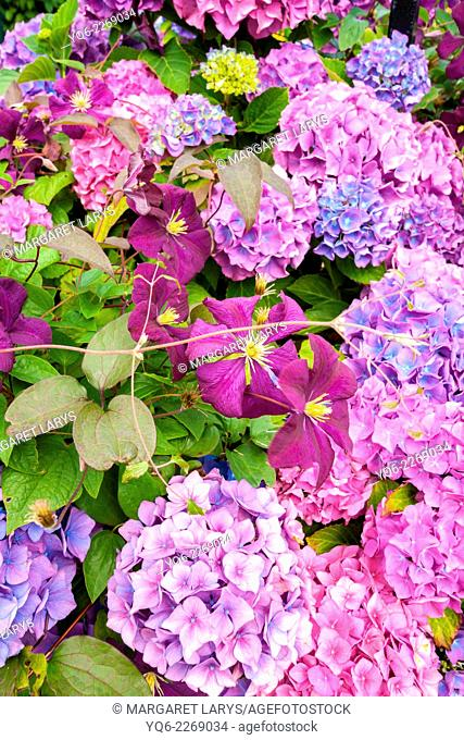 Beautiful hydrangeas and violet clematis in the garden