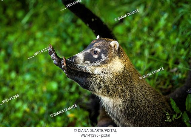 """""""""""White-nosed coati"""" (Nasua narica), The coati is a nocturnal and omnivorous animal, meaning that the coati eats both plants and animals during the darkness..."