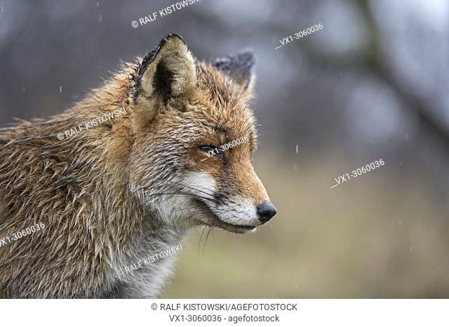 Red Fox ( Vulpes vulpes ), wet, closeup, portrait in rain, on a rainy day, fun, funny, wildlife, Europe