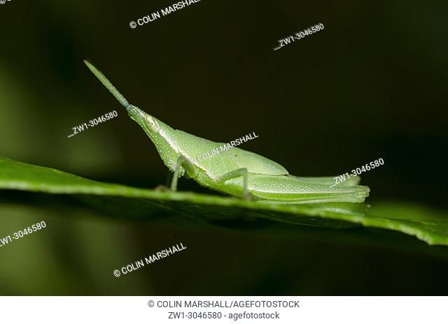 Pyrgomorphid Grasshopper nymph (Orthoptera order, Caelifera sub-order, Pyrgomorphidae family Atractomorpha sp. )on leaf, Klungkung, Bali, Indonesia