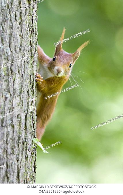 Red Squirrel on a Tree, Germany