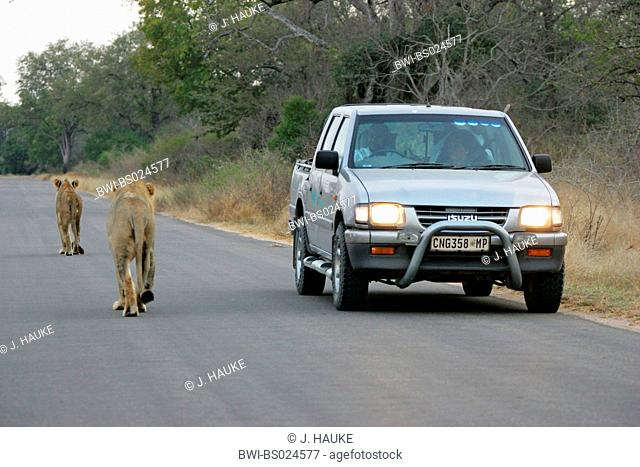 lion (Panthera leo), two individuals with a car on a street, South Africa, Krueger National Park