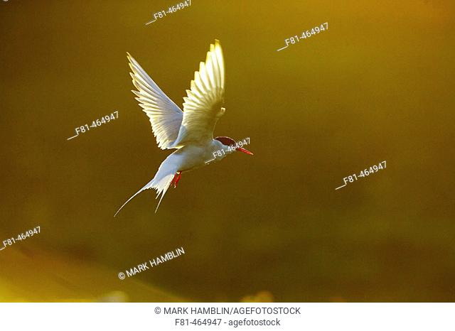 Arctic Tern (Sterna paradisaea) adult in flight in late evening light. Iceland. June 2005