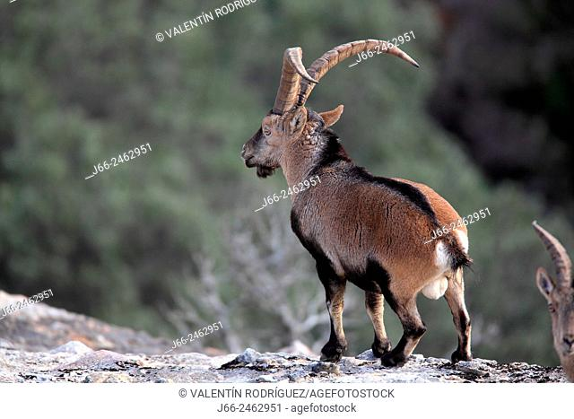 Ibex (Capra pyrenaica), male, in the natural park Els Ports. Tarragona. Spain