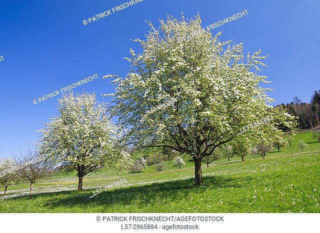 blooming cherry trees, Switzerland