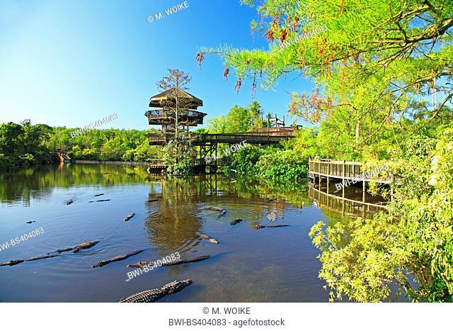 American alligator (Alligator mississippiensis), pond with alligators in Gatorland, USA, Florida