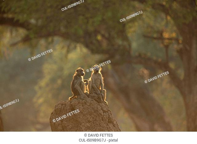 Portrait of two baboons (Papio cynocephalus ursinus) sitting on rock, Chirundu, Zimbabwe, Africa