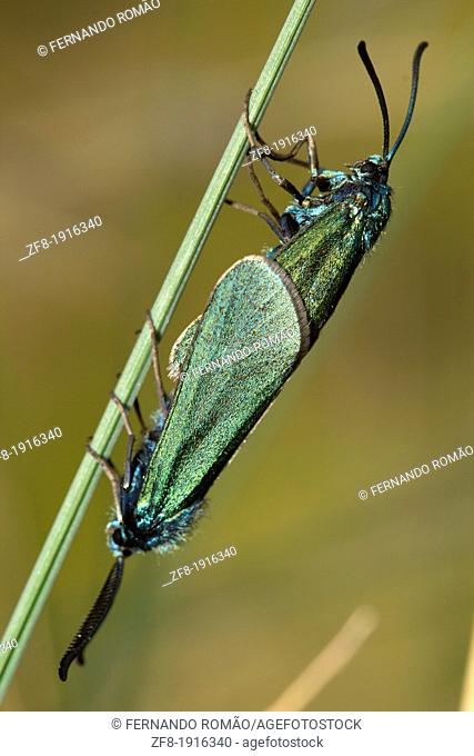Couple of green moths mating, at Guarda, Portugal