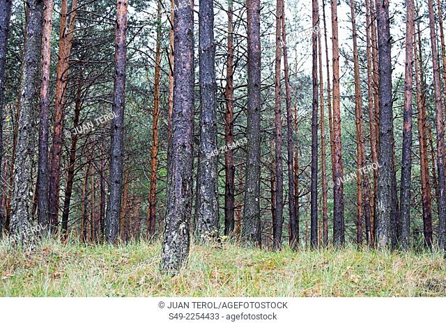 Pine tree forest in the Gudar mountains Teruel Spain