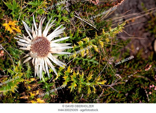 The Alps, the Bernese Oberland, flowers, autumn, Niederhorn, plants, Switzerland, silver thistle