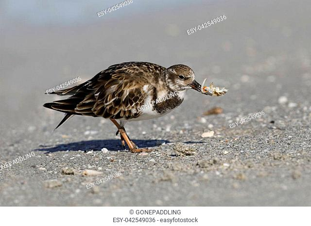Ruddy Turnstone (Arenaria interpres) eating a crab - Fort DeSoto, Florida